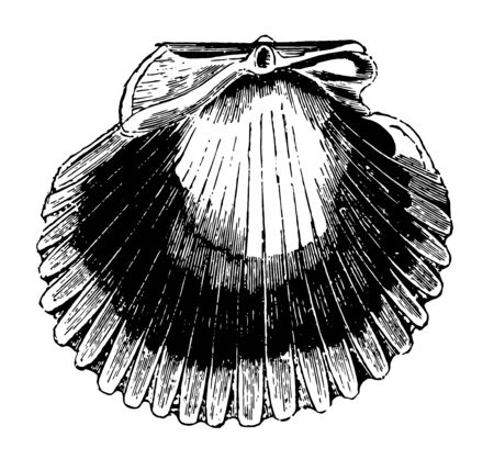 Pecten Purpuratus have colors that are frequently lively and brilliant vintage line drawing or engraving illustration.