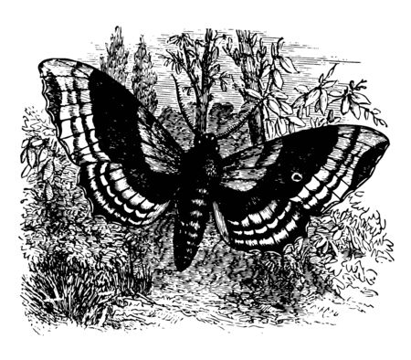 Larva of the Poplar Hawk Moth lives on the poplar vintage line drawing or engraving illustration.