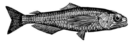 Lanternfish is a species of deep sea lanternfish in the Myctophidae family vintage line drawing or engraving illustration. Ilustracja