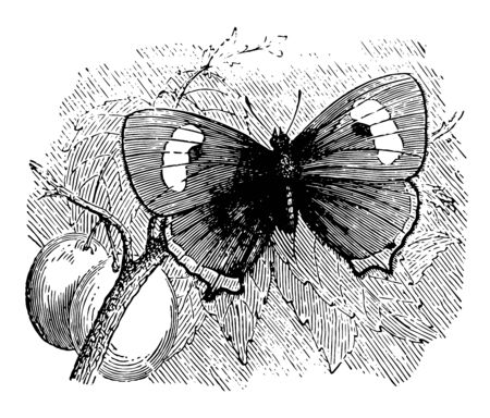 Thecla Betulae which is rare in Great Britain vintage line drawing or engraving illustration.
