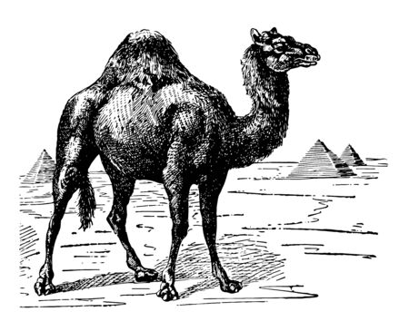 Dromedary Camel is the smallest of the three species of camel vintage line drawing or engraving illustration.