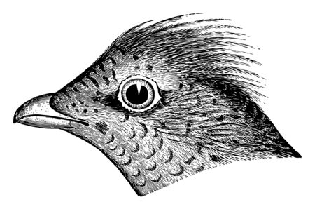 Ruffed Grouse Head with a broad subterminal black zone vintage line drawing or engraving illustration.
