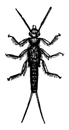 Larva of Perla Marginata which is an insect among the Neuroptera vintage line drawing or engraving illustration. Illustration