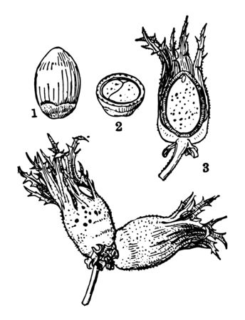 Cobnut is also called hazel nut belongs to species corylus avellana vintage line drawing or engraving illustration.
