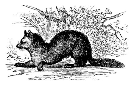 Sable Sneaking About nearly allied to the common marten vintage line drawing or engraving illustration.