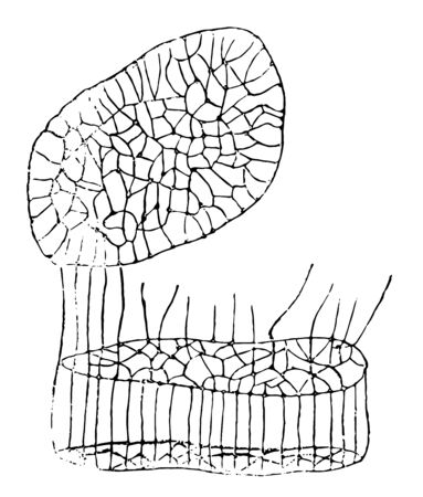 Muscle Fiber Showing Network very plainly vintage line drawing or engraving illustration. Çizim