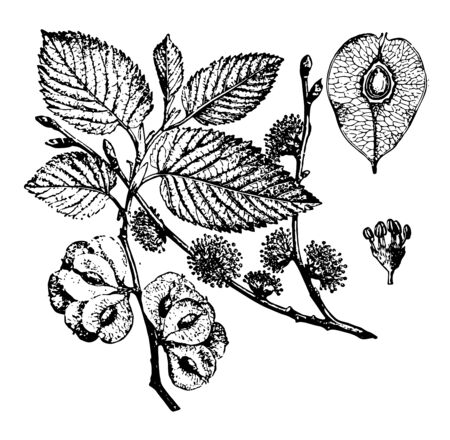 A diagram showing leaves and fruits of Elm tree vintage line drawing or engraving illustration. Illusztráció