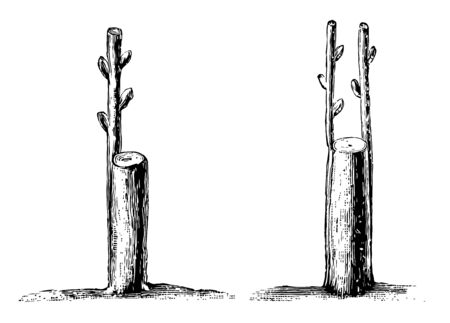 This illustration represents Crown or Rind Grafting where one or more scions may be inserted vintage line drawing or engraving illustration. Illustration