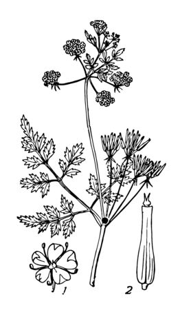 Chervil is herb used to season mild to flavouring dishes vintage line drawing or engraving illustration.  Иллюстрация