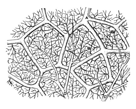 This diagram represents Capillaries of the Air Sac and showing the capillary network of the air sacs vintage line drawing or engraving illustration. Vecteurs