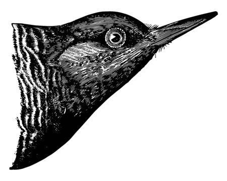 Brown headed Woodpecker has a narrow scarlet patch on the throat vintage line drawing or engraving illustration.