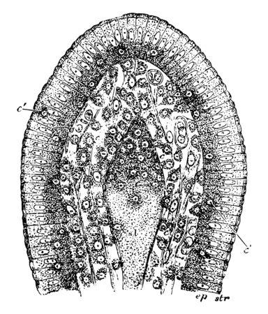 Villus of a Rat killed during fat absorption vintage line drawing or engraving illustration. Illustration