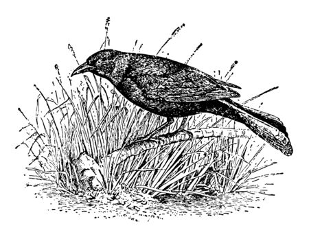 Crow Blackbird eats a variety of foods vintage line drawing or engraving illustration. Ilustracja