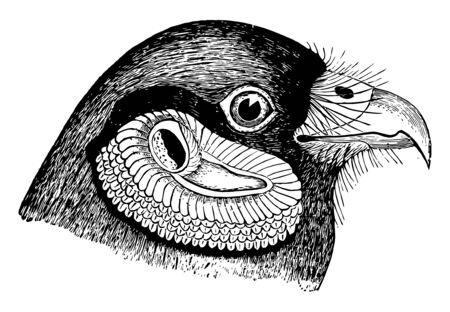 This illustration represents Harrier Ear Parts vintage line drawing or engraving illustration.
