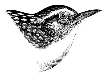 This illustration represents Long billed Marsh Wren vintage line drawing or engraving illustration.