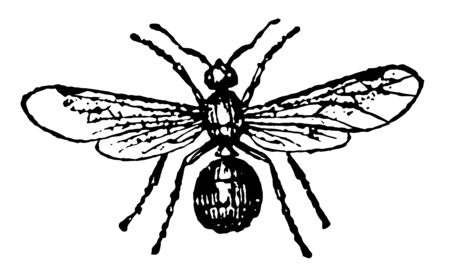 Female Ash Black Ant which employ a mortar in raising their hillocks at the same time vintage line drawing or engraving illustration.