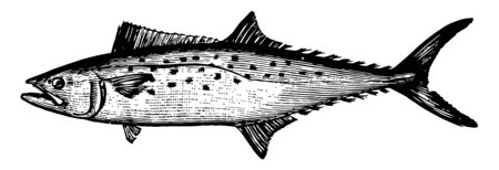 Atlantic Spanish Mackerel is a migratory species of mackerel common to the Gulf of Mexico vintage line drawing or engraving illustration.