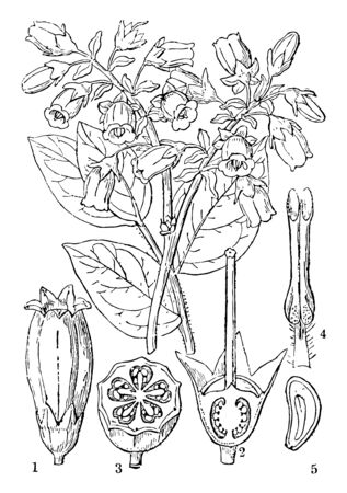 A diagram of Large-Cluster Blueberry plant. The diagram shows a flower, a perpendicular section of it without the corolla, a cross section of an ovary, an anther and half a seed, vintage line drawing or engraving illustration.