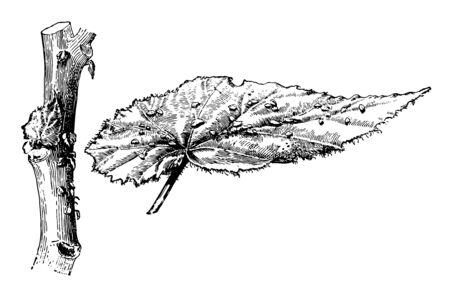 This illustration represents Begonia Phyllomaniaca where the leaves are four to six inches long and slightly fringed, vintage line drawing or engraving illustration.