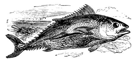 Northern Bluefin Tuna is a species of tuna native to the Atlantic Ocean vintage line drawing or engraving illustration.