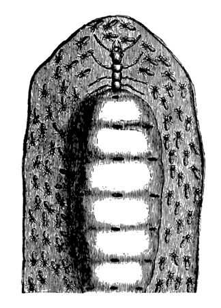 Female Termes Lucifugus is six inches in length and weighs as much as thirty thousand workers vintage line drawing or engraving illustration.