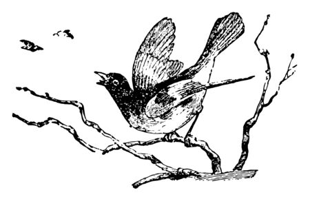 Redstart is a genus of American birds vintage line drawing or engraving illustration. Ilustrace