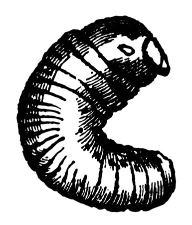 Larva of Scolytus this larva destroys great forests of oak trees vintage line drawing or engraving illustration.