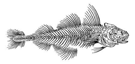 Skeleton of a Haddock which is a modified form of the coracoid bone vintage line drawing or engraving illustration.