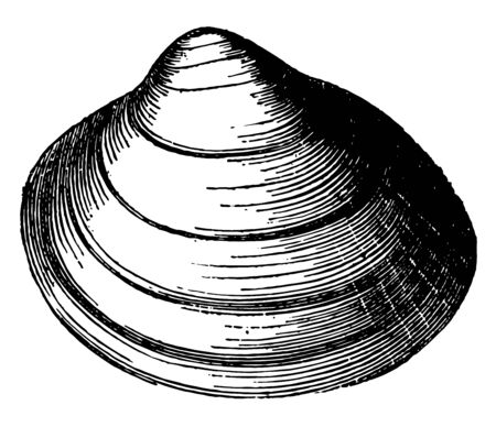 Cardium Groenlandicum is the familiar cockles are among the most widely distributed of shells vintage line drawing or engraving illustration. Ilustración de vector