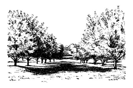 This illustration represents California Apple Orchard, vintage line drawing or engraving illustration. Ilustração