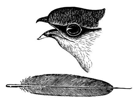 Chimney Swift Head and Feather with a faint greenish gloss above vintage line drawing or engraving illustration.