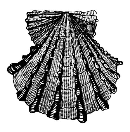 Pecten Foliaceus have colors that are frequently lively and brilliant vintage line drawing or engraving illustration. Stock Illustratie
