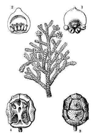 A diagram showing different parts of Cypress plant which includes conifers cone ovary ripe cone and cone without scales vintage line drawing or engraving illustration. Ilustração
