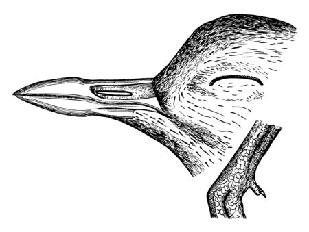 This image represents four toed Plover Bill and Hind Toe vintage line drawing or engraving illustration.