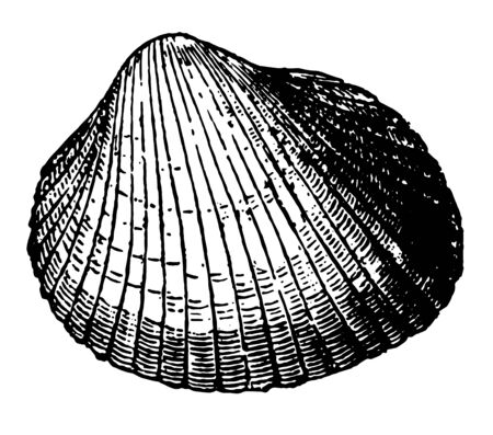 Cardium Edulis is white or fawn colored shell being hollowed out into twenty six furrows vintage line drawing or engraving illustration. Stock fotó - 132805943