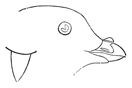 This illustration represents Least Auk Adult vintage line drawing or engraving illustration.