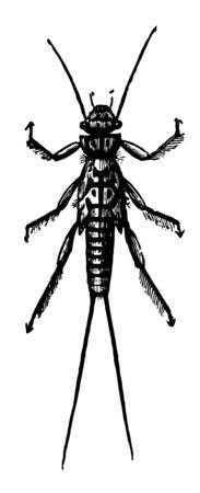 Larva of Perla Bicaudata which undergo incomplete metamorphoses vintage line drawing or engraving illustration. 版權商用圖片 - 132804751