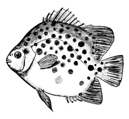 Spotted Scat is a small fish native to the western Pacific Ocean vintage line drawing or engraving illustration.