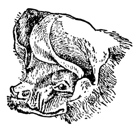 Head of Free tailed Bat is a bat species found in South North and Central America vintage line drawing or engraving illustration. 写真素材 - 132808809
