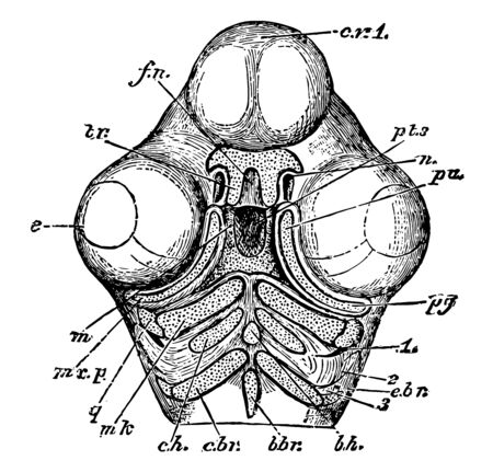 Skull of a Chick Below the parts of the second and third arch all going into the hyoid bone vintage line drawing or engraving illustration.