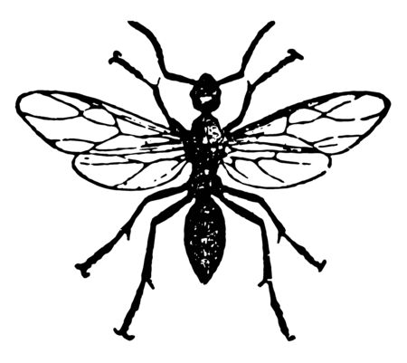 Horse Ant Male which is allowed to stray away and soon die vintage line drawing or engraving illustration. Ilustração