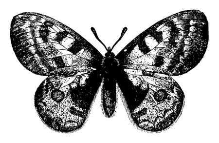 Parnassius Apollo which appears in June and July vintage line drawing or engraving illustration.