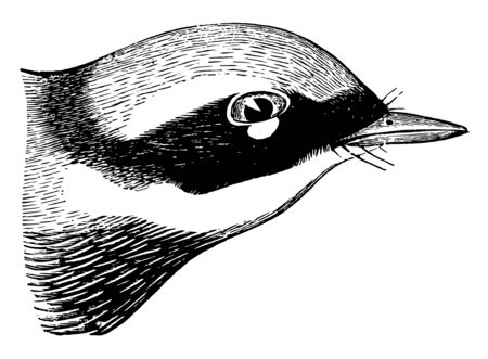 Magnolia Warbler usually quite pure and uninterrupted in the spring vintage line drawing or engraving illustration.