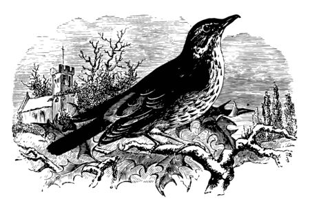 Red Wing Thrush migrates from the north to the south of Europe in the winter vintage line drawing or engraving illustration.