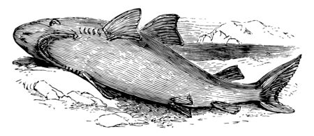 Great White Shark is a large shark found in all major oceans vintage line drawing or engraving illustration.