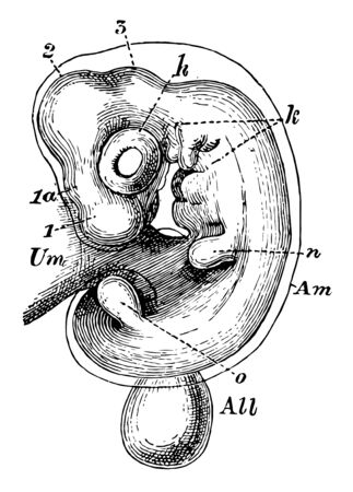 The innermost one of the membranes which envelop the embryo of the higher vertebrates as mammals birds and reptile vintage line drawing or engraving illustration.