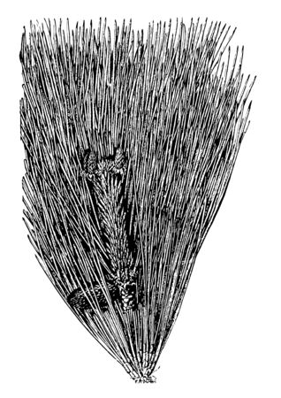 The loblolly pine in the form young cones vintage line drawing or engraving illustration.