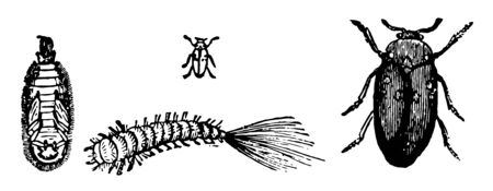 Attagenus Pellio is dreaded by furriers because of the damage it inflicts vintage line drawing or engraving illustration.