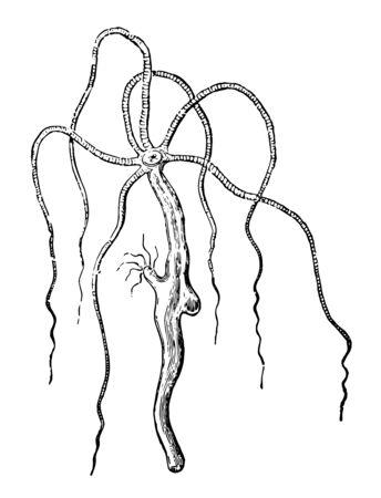 Hydra Vulgaris inhabits stagnant ponds vintage line drawing or engraving illustration.