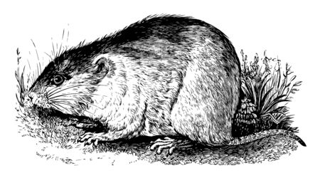 Field Mouse is closely related to the yellow necked mouse but differs in that it has no band of yellow fur around the neck, vintage line drawing or engraving illustration. Standard-Bild - 132812924